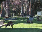 Deer grazing in Ross Bay cemetery, Victoria